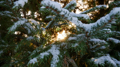 HD Wallpaper Winter spruce, branches, snow