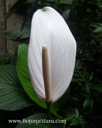 Spathiphyllum cannifolium, Peace Lily spadix
