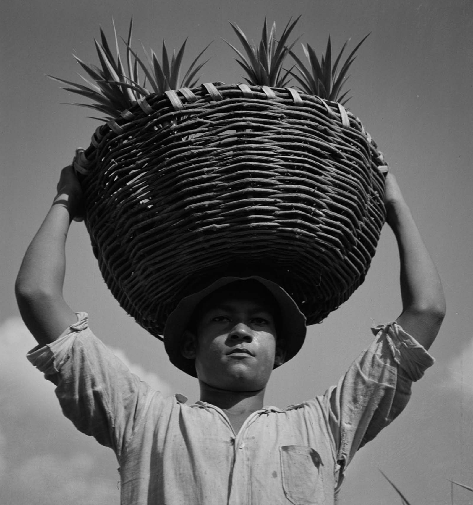 A worker on a pineapple plantation near Manati.