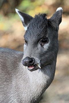 www.fertilmemte.com.br - Elaphodus Cephalophus é uma espécie de pequeno cervo com caninos saltados
