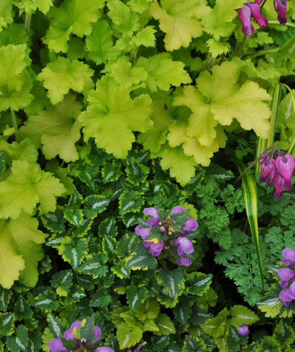 is a variety of lamium...