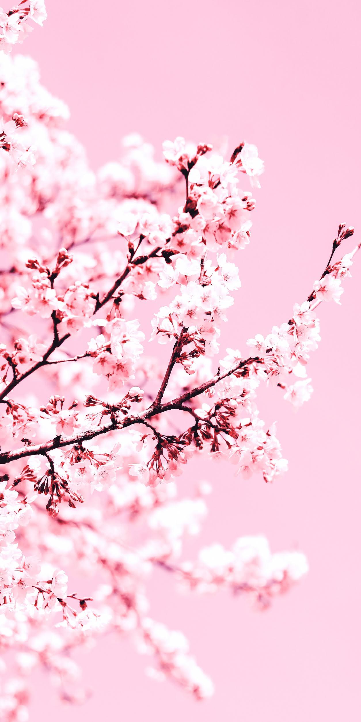 Cherry Blossom Wallpaper Aesthetic