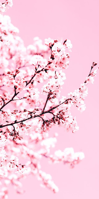 Cherry blossom wallpaper aesthetic