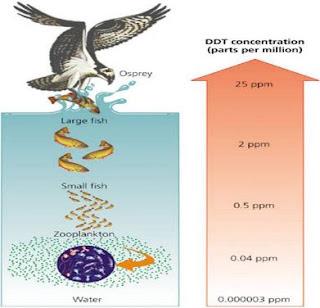 DDT berpindah dari tubuh herbivora, karnivora, dan seterusnya hingga ke konsumen pada tingkat trofik tertinggi. Akumulasi DDT terbanyak terdapat pada tingkatan trofik paling tinggi.