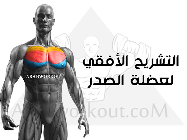 التشريح الأفقي لعضلة الصدر