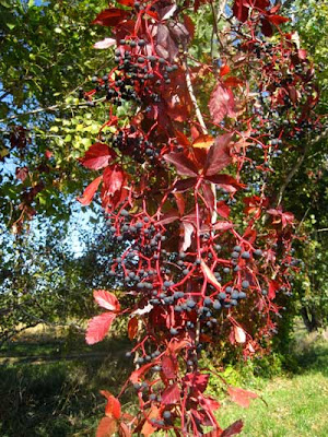 Bright red five-leaved vine with small purple fruits, like tiny grapes