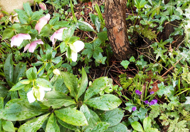 Image shows hellebore flowers to the left and purple crocus to the right amongst green leaves