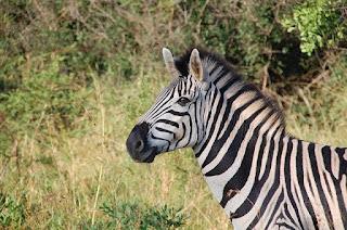 Alasan Zebra Tidak Ditunggangi seperti Kuda