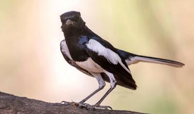 Tips Dan Cara Akurat Memilih Burung Kacer Fighter Ombyokan Prospek Lomba Terlengkap