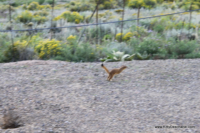 long-tailed weasel running