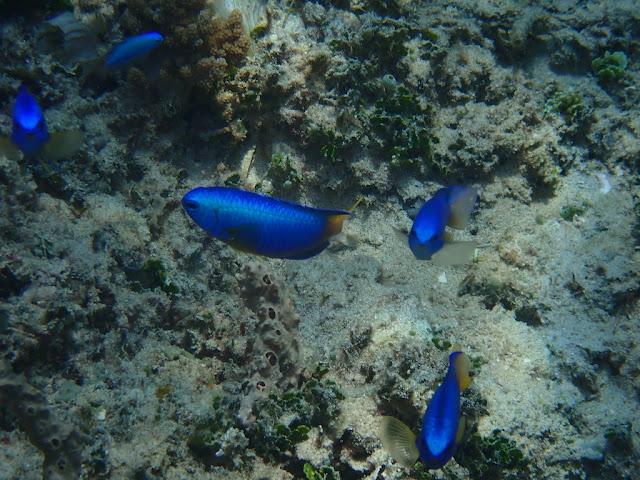 Pomacentrus coelestis