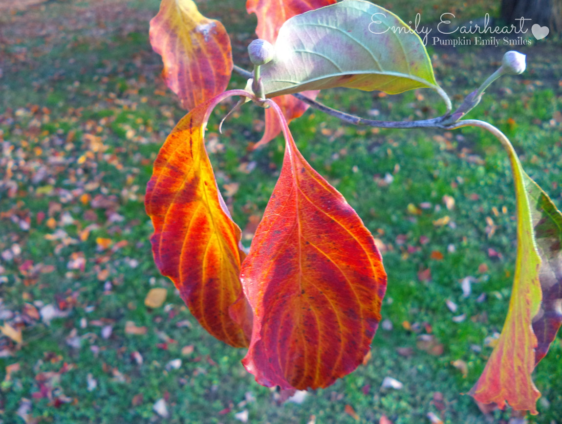 Red and orange leafs on a Dogwood tree.