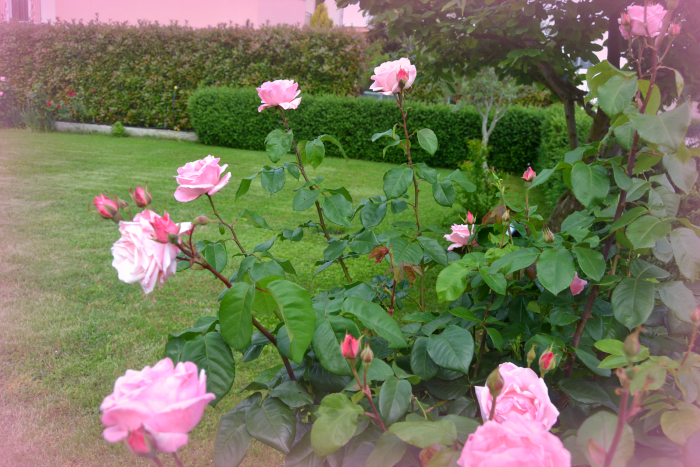 rose cerimonia maggio