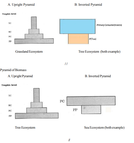 Name the type of Ecological Pyramid that can exist as upright as well as inverted. Explain how does it happen.