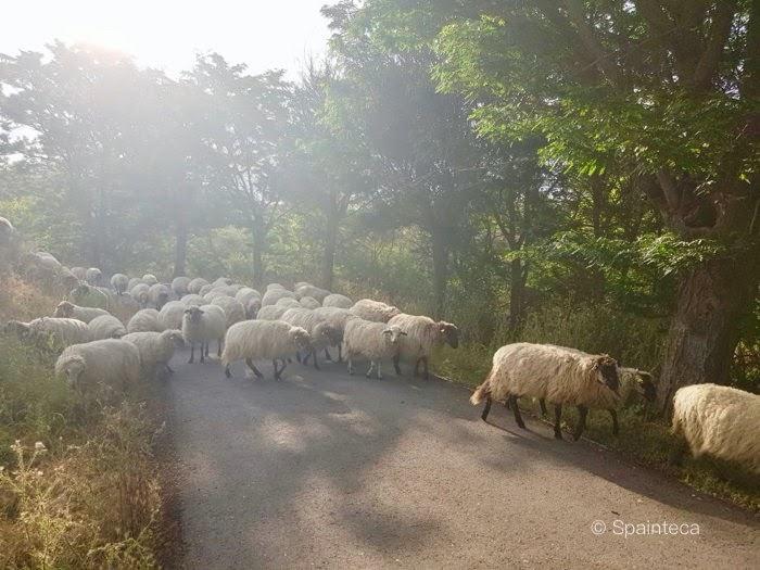 スペインのマドリードの草を食べながらのんびり進む羊たち