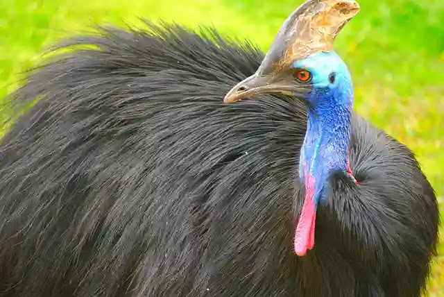 50 Amazing Facts About Cassowary in Hindi