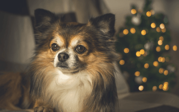 Small Dog With Christmas Tree In Background