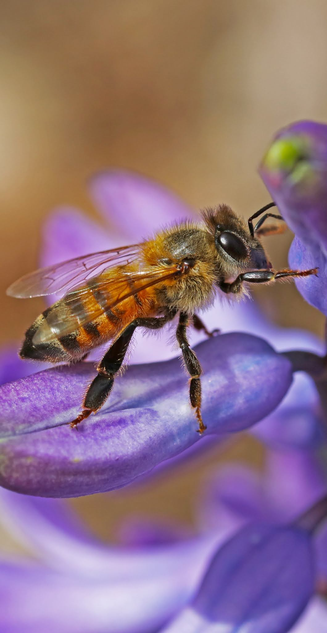 Macro photo of a bee.