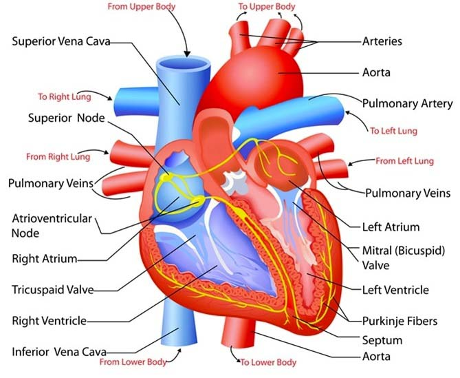 The internal structure of human heart - Ishwaranand