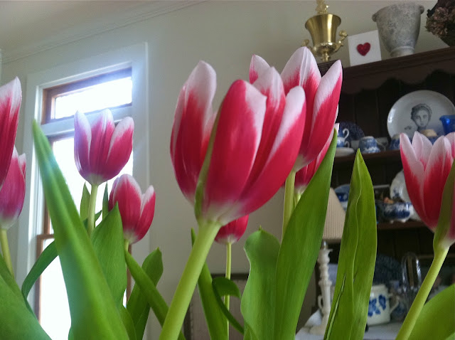 Winter-Tulips-for-Valentine's-Day