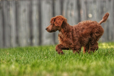 A small brown dog is walking through green grass