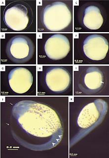 Gambar Bentuk Telur Ikan Cupang