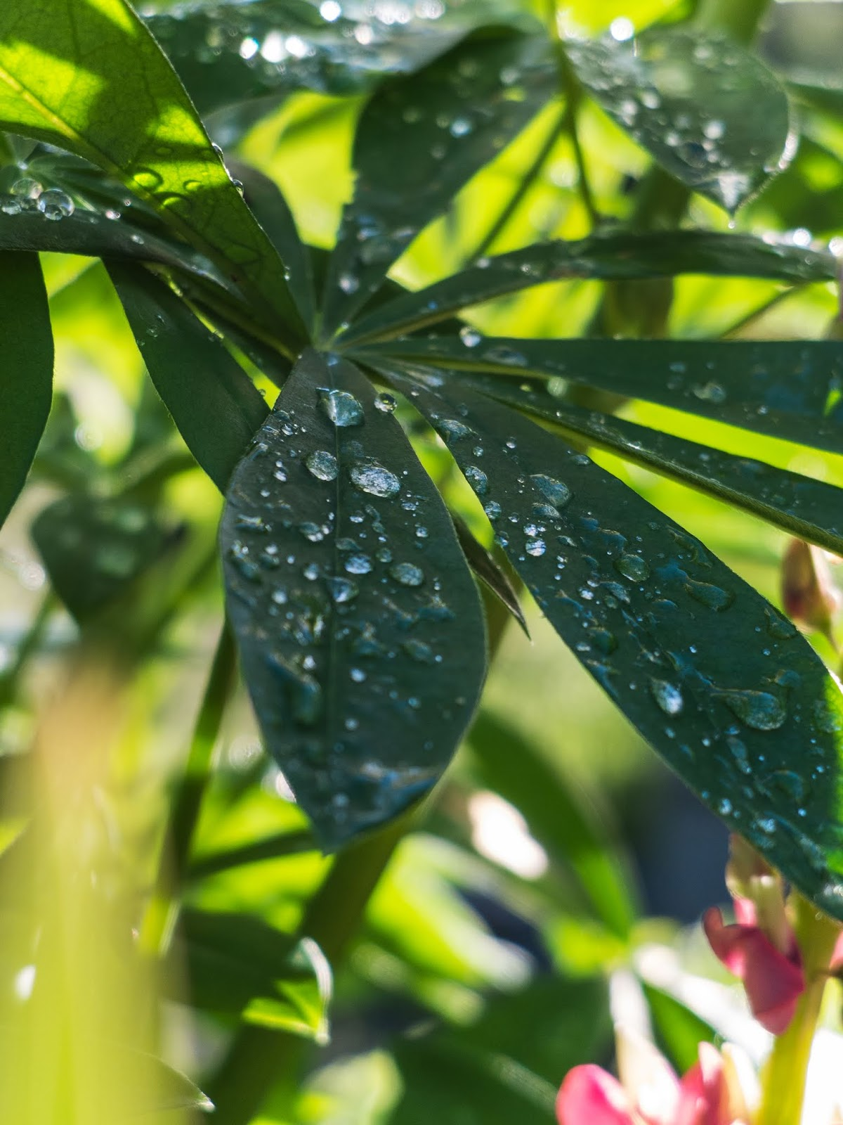 A close up of raindrops on a Lupine leaf with sunlight in the background.