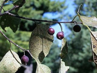 Hackberry Fruit Pictures