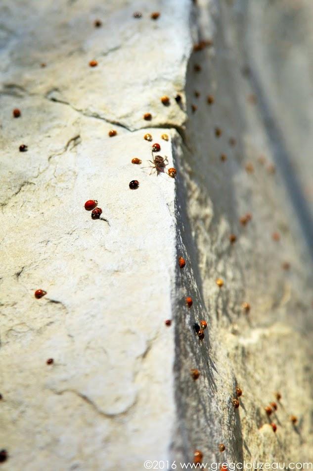 Invasion de coccinelles asiatiques à Fontainebleau. Octobre 2016 Greg Clouzeau