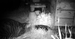 Stripey Cat Watching Mouse