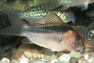Jenis Ikan Corydorasrabauti