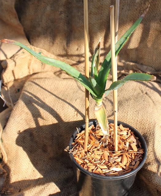 Aloe thraskii in one gallon container