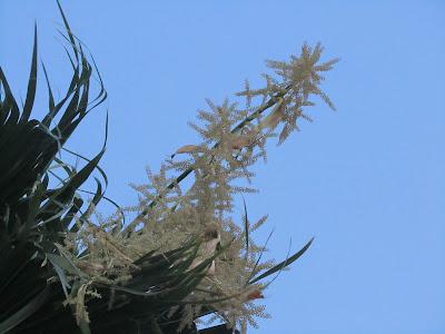 Fiori Washingtonia filifera