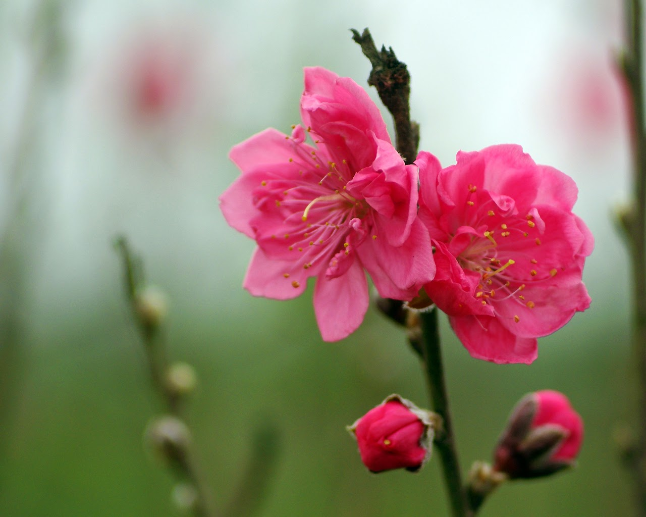 Peach Flower - special flower of the Vietnamese New Year ...