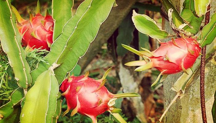 Cactus hylocereus undatus