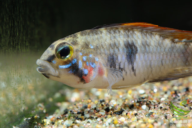 Apistogramma sp. Alto Vaupes I / sp. D39