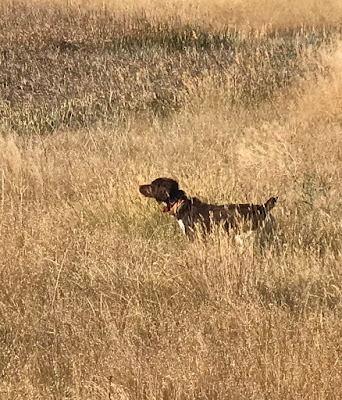 montana hunting bird hunting bird dogs and bird hunting