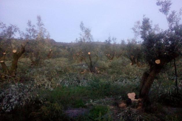 Κόβουν τις ελιές Καλαμών οι παραγωγοί γιατί η τιμή των ελιών είναι μικρότερη από το κόστος συγκομιδής και ασύμφορη