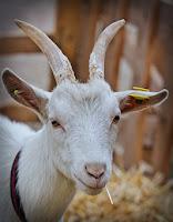 poslovicy-pogovorki-koza-kozel