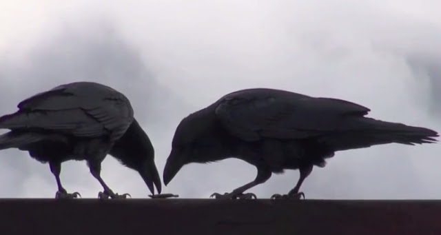 Raven Courtship: I am yours and you are mine, Male Presenting Gift To Female