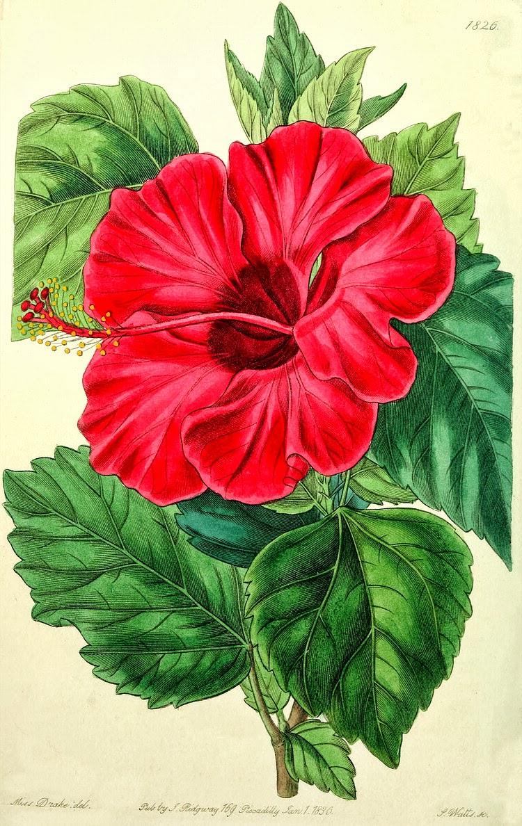 Hibiscus rosa sinensis the garden of eaden hibiscus rosa sinensis illustration izmirmasajfo