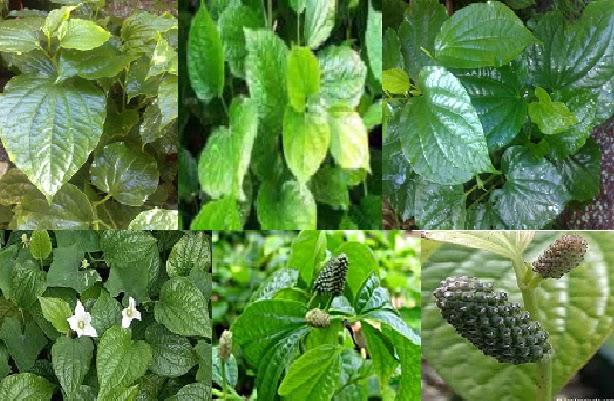 Herba & Tumbuhan: KHASIAT Daun Kaduk