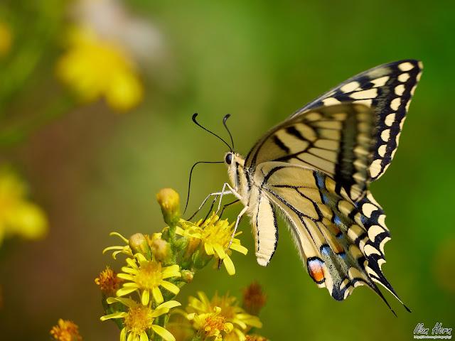 Swallowtail on Flower Portrait