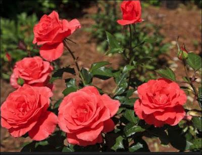 गुलाब का फूल खाने के फायदे जानकारी   Gulab Ke Fayde Hindi Me