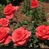 गुलाब का फूल खाने के फायदे जानकारी | Gulab Ke Fayde Hindi Me