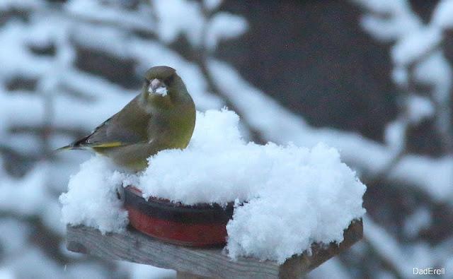 Verdier cherchant des graines de tournesol dans la neige