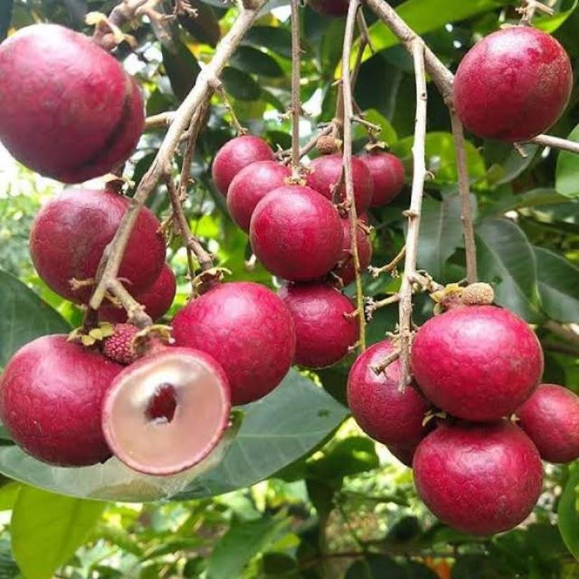 Bibit Kelengkeng merah ruby longan Bontang