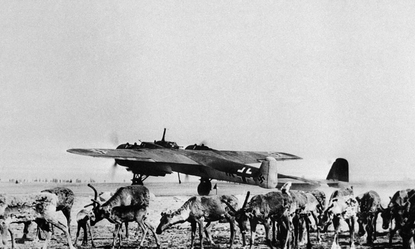 Reindeer graze on an airfield in Finland on July 26, 1941. In the background a German war plane takes off.