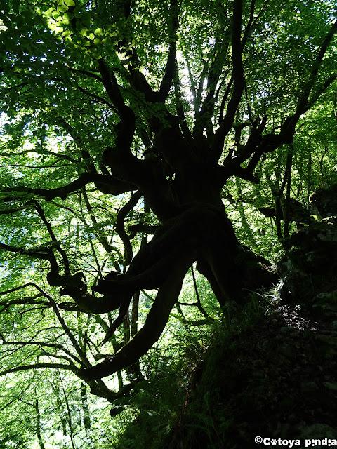 Caminando por la senda del Arcediano entre bosques de hayas.