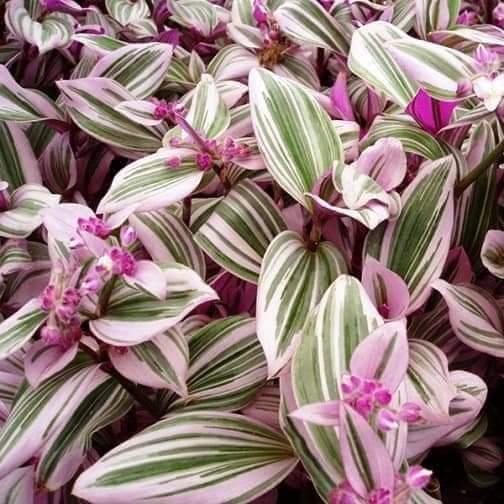 اجمل النباتات المنزلية والتي لاتحتاج اعتناء كثير نبتة المكحلة